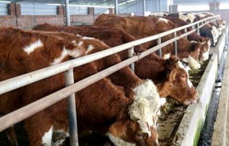 2020年牛价要下跌是真的吗?