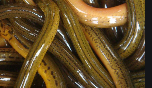 黄鳝池塘生态养殖技术分析