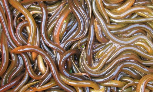 黄鳝网箱养殖的优势分析