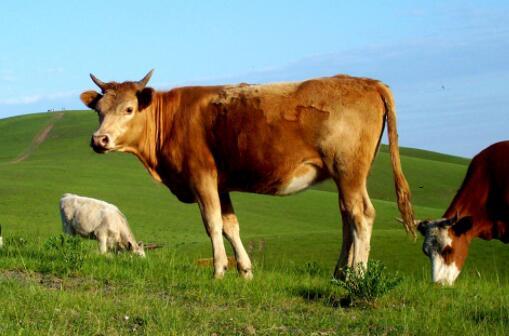 2020肉牛养殖前景会怎么样?