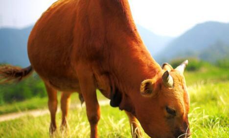 肉牛养殖成本和利润多少?