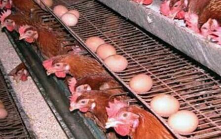2020年养蛋鸡前景好吗?