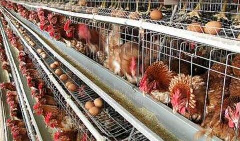 蛋鸡养殖利润有多少?