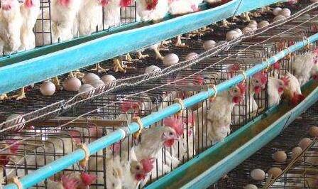 蛋鸡品种主要有哪些?