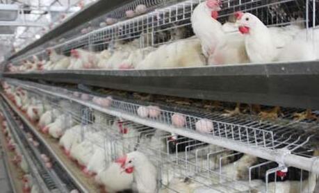 现代化蛋鸡养殖技术要点有哪些?