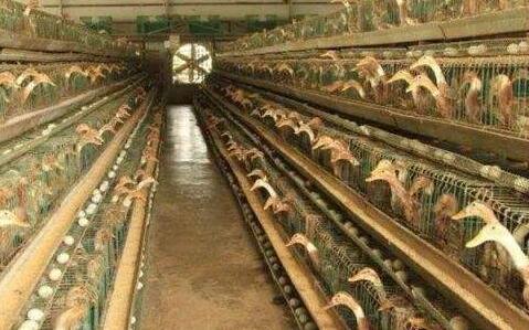 3000只蛋鸭养殖利润要怎么计算?