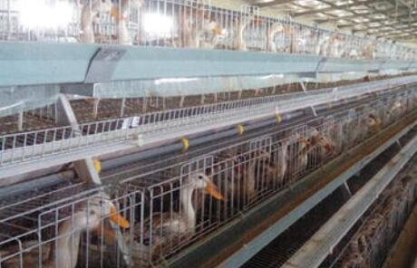 2020年蛋鸭养殖前景会怎么样?