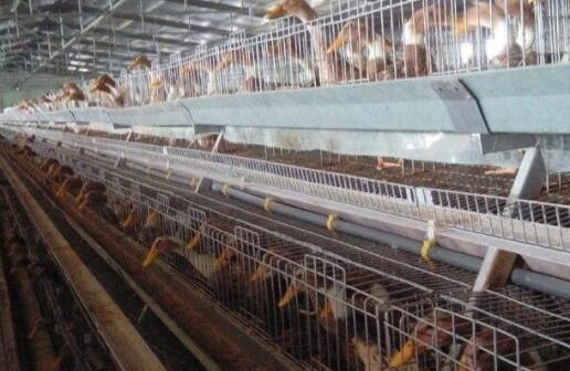 蛋鸭能不能保温养殖?
