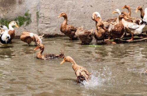 蛋鸭养殖需要注意什么?
