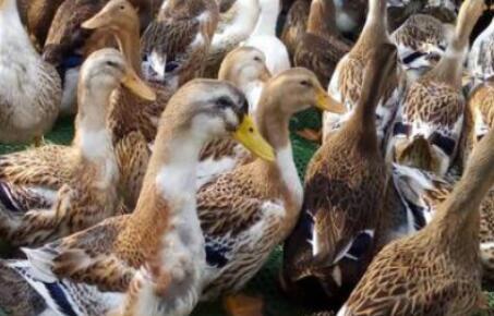冬天蛋鸭养殖技术主要有哪些?