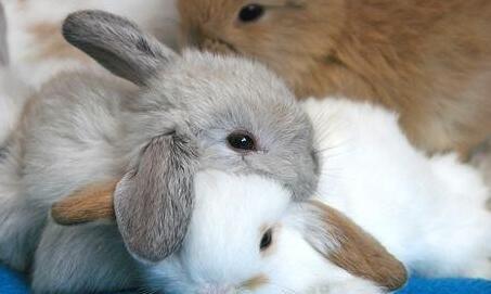 垂耳长毛兔多少钱一只?