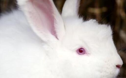 养殖长毛兔什么品种好?