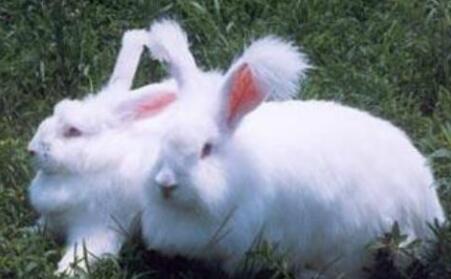 如何养好长毛兔?