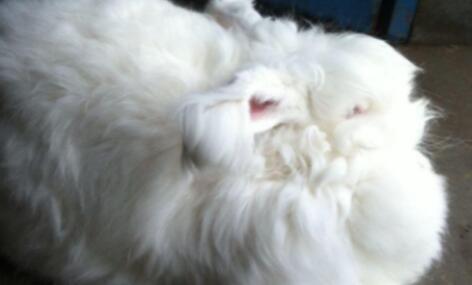 长毛兔养殖前景怎么样?