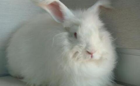 长毛兔养殖新技术有哪些?