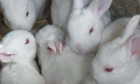 长毛兔养殖骗局是怎么回事?