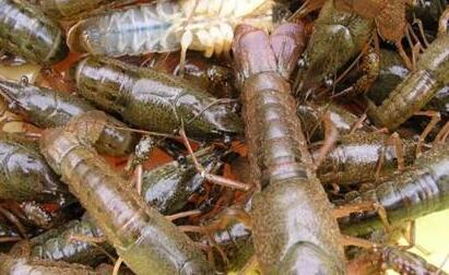 小龙虾养殖10有9亏是怎么
