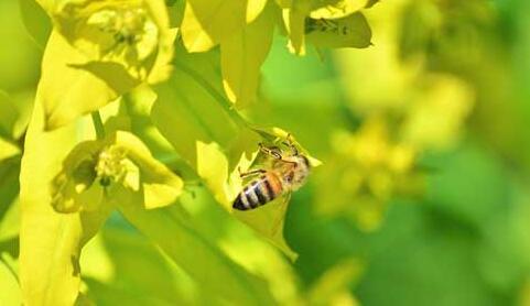 蜜源植物主要有哪些?