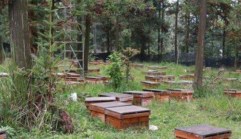 人工养一箱蜂一年能分几箱?