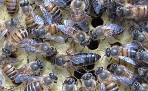 常见的蜜蜂有几种?