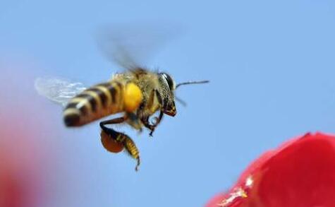 工蜂的性别是公还是母?