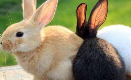 兔子临死前征兆有哪些?