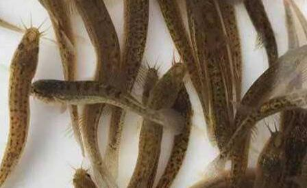 泥鳅苗养殖技术有哪些?