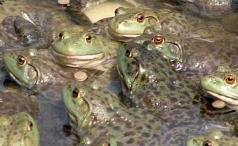 2020市场牛蛙多少钱一斤?