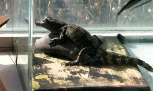 鳄鱼养久了会认主人吗?