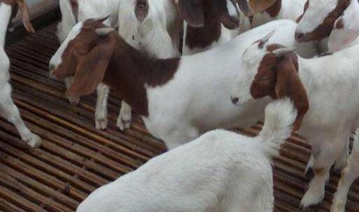 初次养羊需要注意什么?