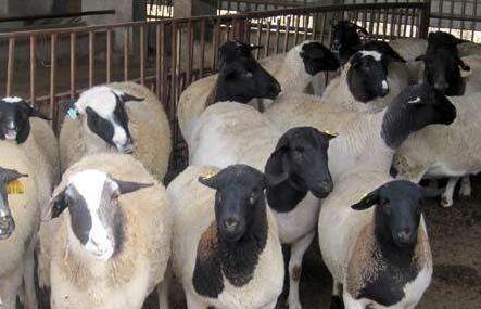 五万养牛还是养羊好?