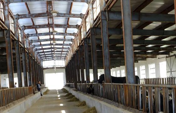 50头牛的牛棚设计图及标准化牛场视频