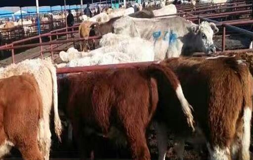 一般6万可以养几头牛?