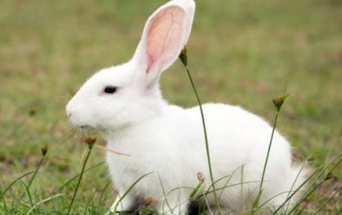 农村兔子养殖技术有哪些