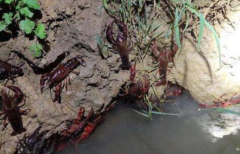 小龙虾幼苗吃什么食物?