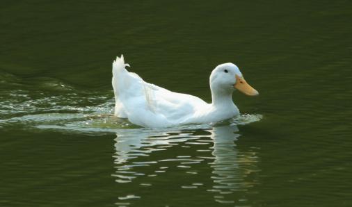 养殖3000只肉鸭的成本和利润大概是多少