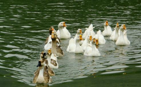 鸭子养殖的利润怎么样?大概要投资多少钱?