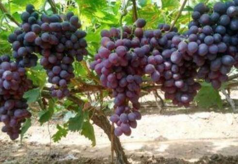 现在新品种葡萄苗有哪些?