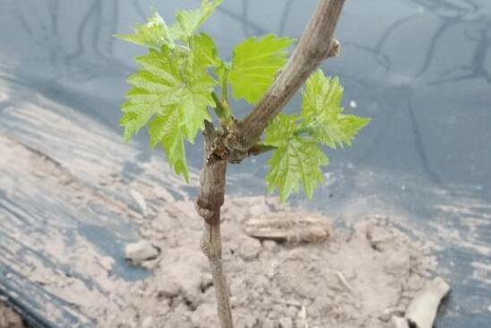 新种的葡萄苗用什么肥料?