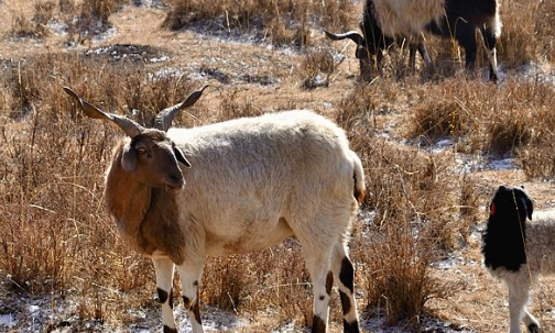 白山羊养殖技术有哪些