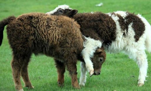 黑山羊的养殖技术有哪些