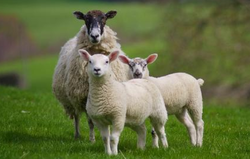 2020养羊赚钱吗