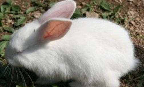 肉食兔养殖技术有哪些