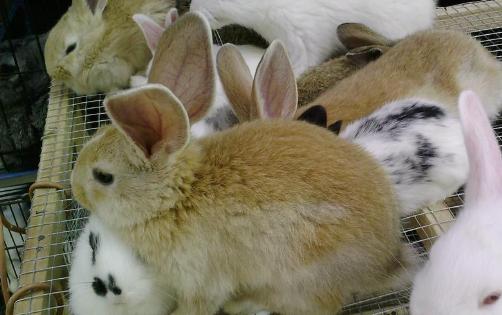 肉兔的养殖技术及基本方法有哪些