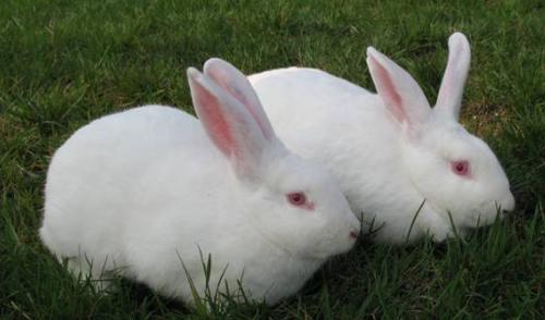 农村兔子养殖技术分别有哪些
