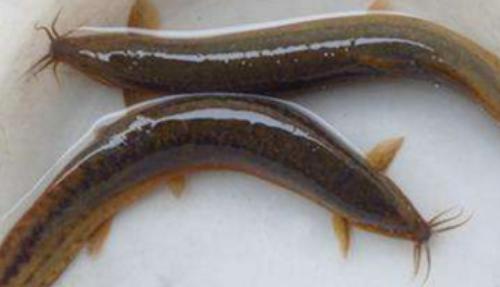 泥鳅养殖技术分别有哪些
