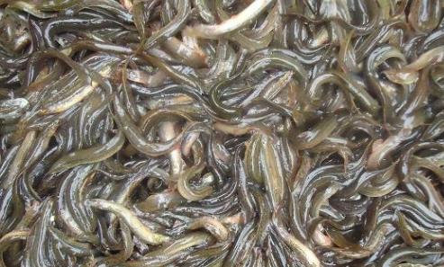泥鳅养殖的常见养殖模式有哪些