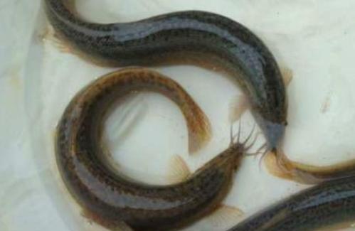 泥鳅常见的几种暂养技术