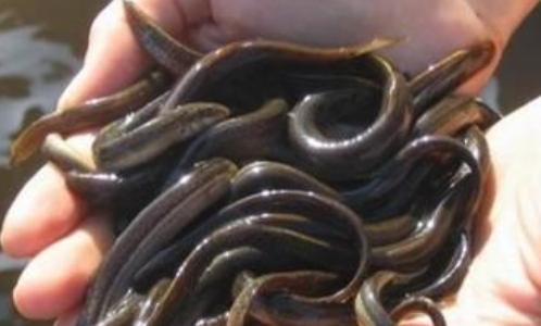 泥鳅养殖效益分析