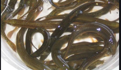 野生泥鳅的特征和养殖泥鳅的区别